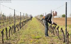 Opération 'lier la vigne'