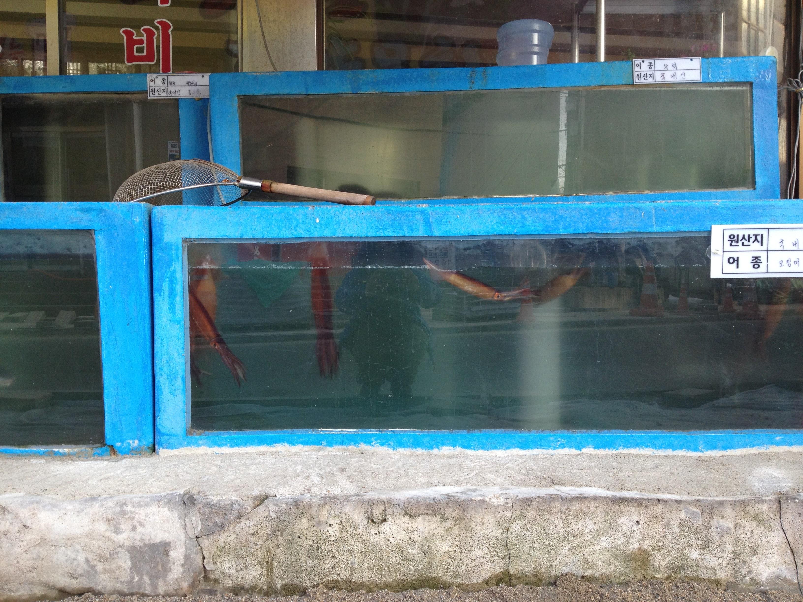 Swimming calamaris