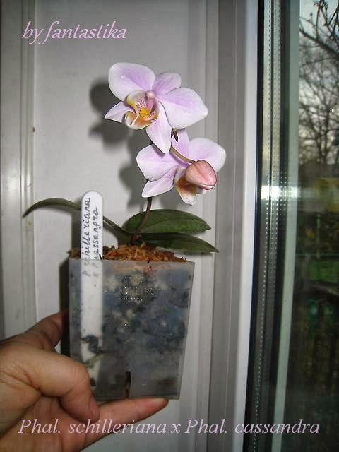 Фаленопсисы гибридные - Страница 6 Phal.%2520schilleriana%2520x%2520Phal.%2520cassandra