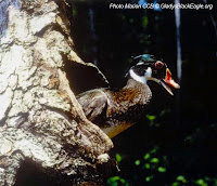 A male wood duck coming out of the nest cavity.