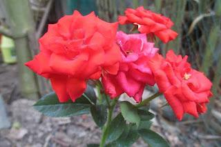 Chùm hoa hồng chùm xoan