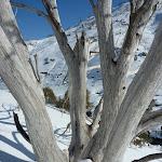 Snow gum in winter (299542)