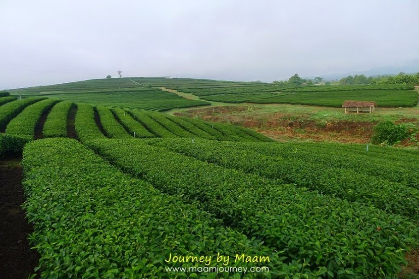 ชาเขียวญี่ปุ่นแท้_ไร่ชาเขียว_ไร่บุญรอด_3