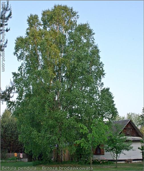 Betula pendula - Brzoza brodawkowata pokrój
