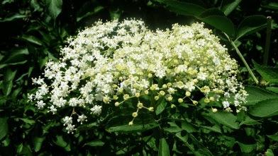 Bez czarny Sambucus nigra kwiat