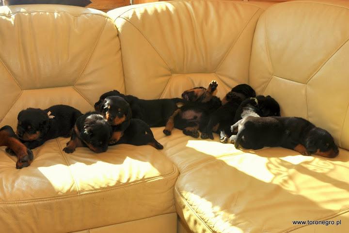 Miłe szczeniaki rasy rottweiler