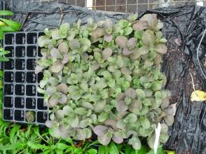 Rozchodnik wielki 'Raspberry Truffle' młode rośliny