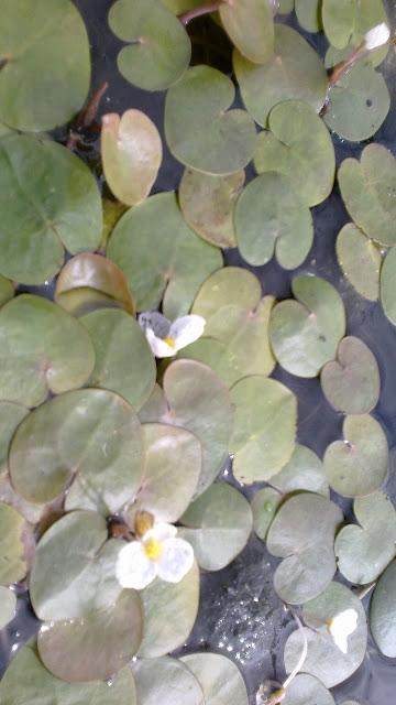 Żabiściek pływający