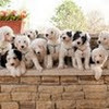 Old English Sheepdog Texas