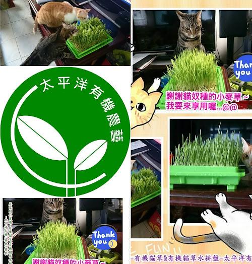 小麥,貓草種植,貓草種植方法,貓草,貓草是什麼,貓草diy,貓草小麥草,貓草怎麼種,回春水作法,種貓草