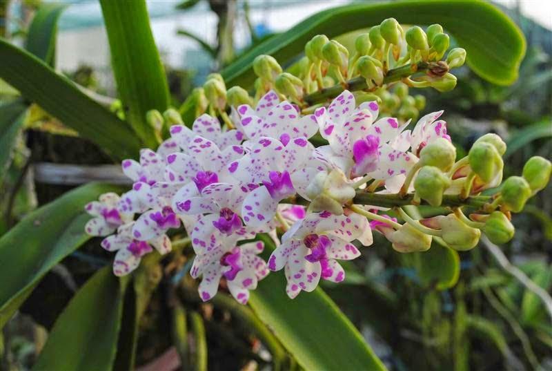 Đai Châu rừng của nước ta thường trổ hoa vào những ngày đầu năm mới với cánh màu trắng điểm lấm tấm những chấm tím khiến người nhìn càng lúc càng thấy mê đắm