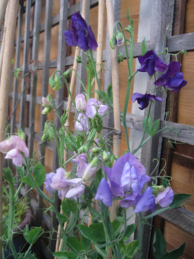 Sweet peas in my garden