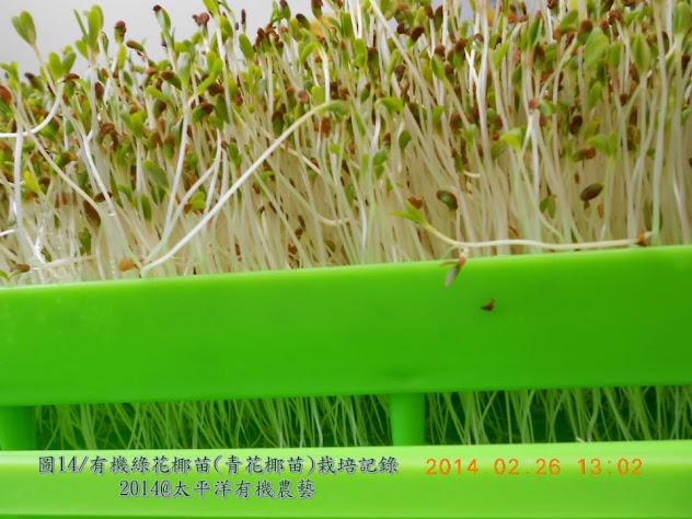 有機綠花椰芽苗 有機青花椰芽苗 有機西蘭花芽苗