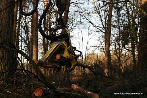Houtoogst in de bossen van overloon 17-01-2012 (7).JPG