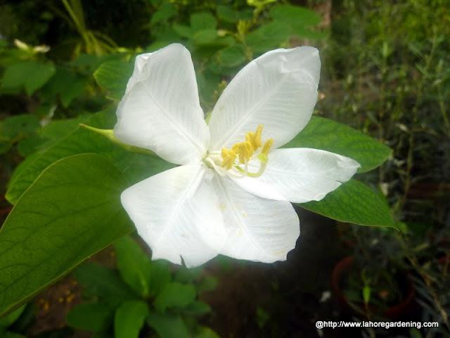 dwarf white bauhinia Bauhinia acuminata