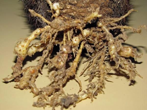 bệnh tuyến trùng trên cây xương rồng
