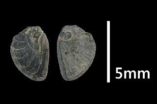 #k24 Cochlis neglecta oder unbekannt 4,7x3,6mm