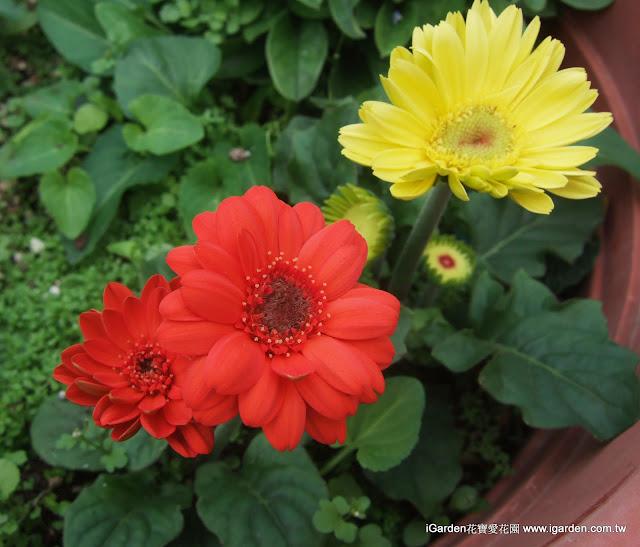 非洲菊 迷你美加開花 | iGarden花寶愛花園園藝文摘Plus
