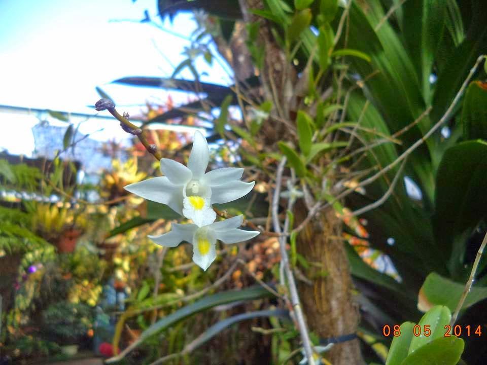 hoàng thảo bạch câu nở hoa tùy hứng không theo mùa