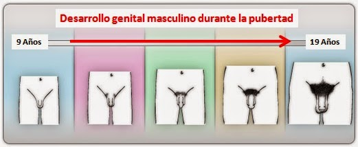 El medio para el aumento la dimensión del miembro viril
