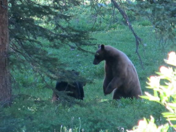Mama and baby bears playing