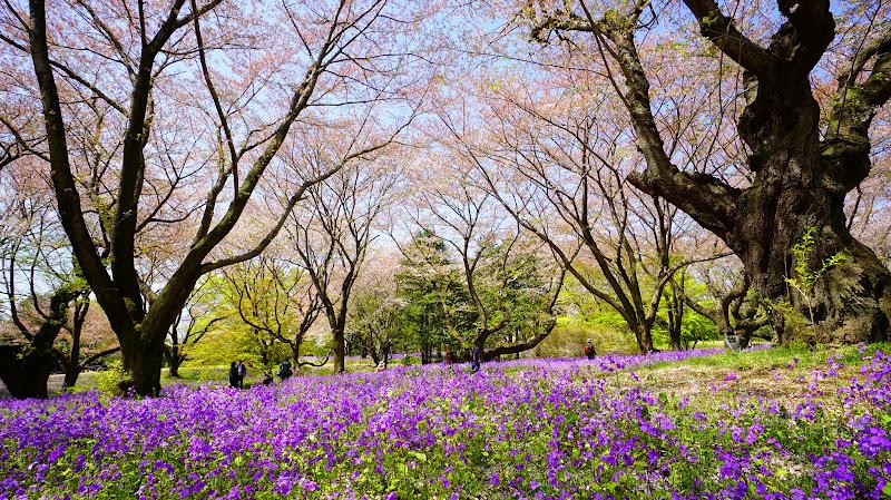 昭和記念公園 桜 写真10