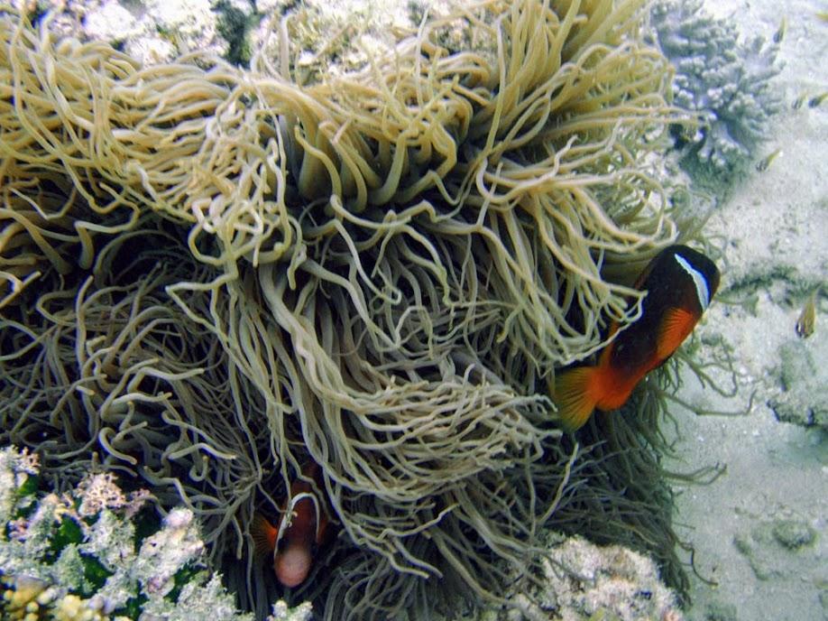 Amphiprion barberi (Fiji Tomato Clownfish) with Heteractis crispa (Sebae Anemone), Naigani Island, Fiji