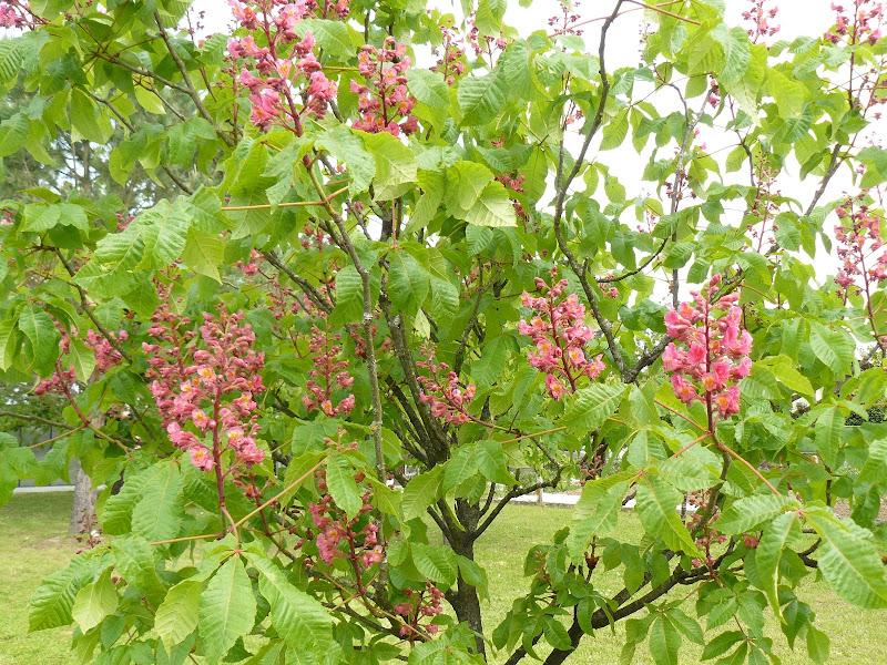 Des floraisons au jardin ... P1030255