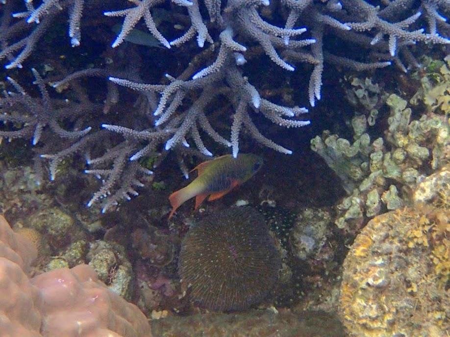 Apogon griffini (Hookfin Cardinalfish), Sand Island, Palawan, Philippines.