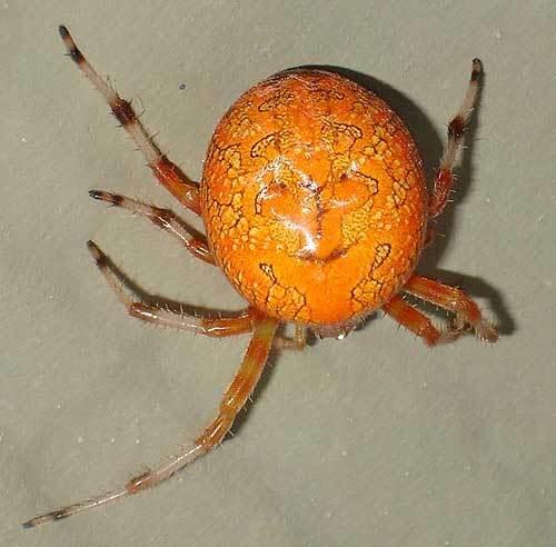 какие бывают пауки название и фото