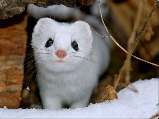 Snow Weasel, Minnesota USA.jpg