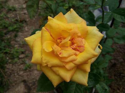 Chụp cận cảnh hình dáng của hoa hồng vàng này