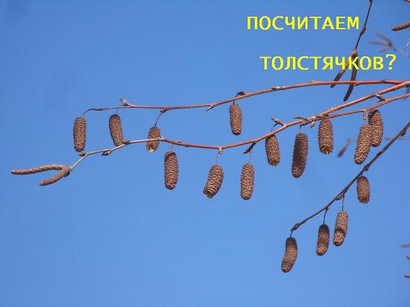 березовые сережки