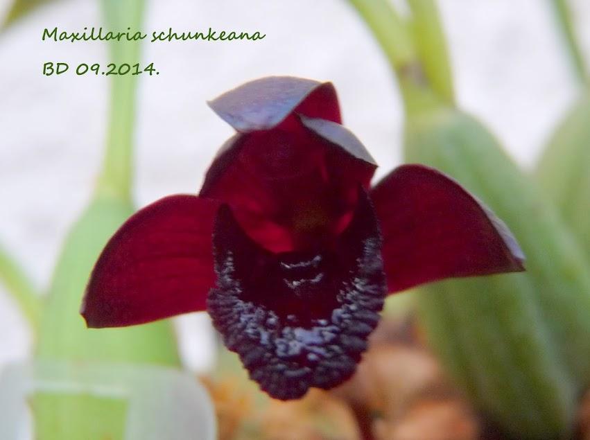 Maxillaria schunkeana P1430146
