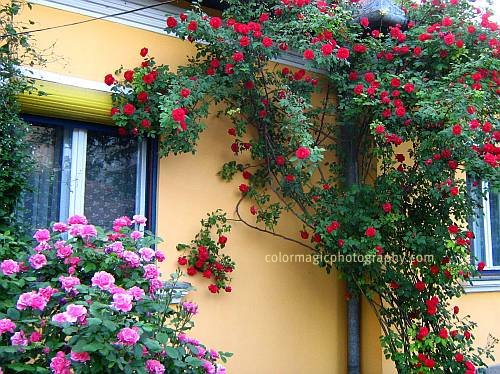 Climbing rose bushes trained against the house wall.