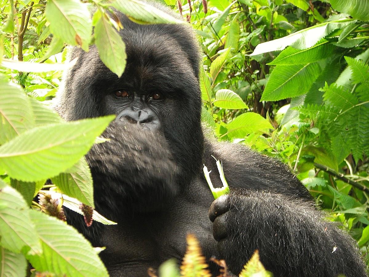 Face-to-face with a Silverback gorilla