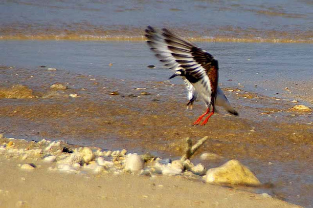 bird,landing,wingspread