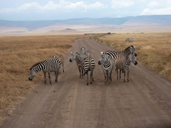 Zebra crossing in the Serengeti