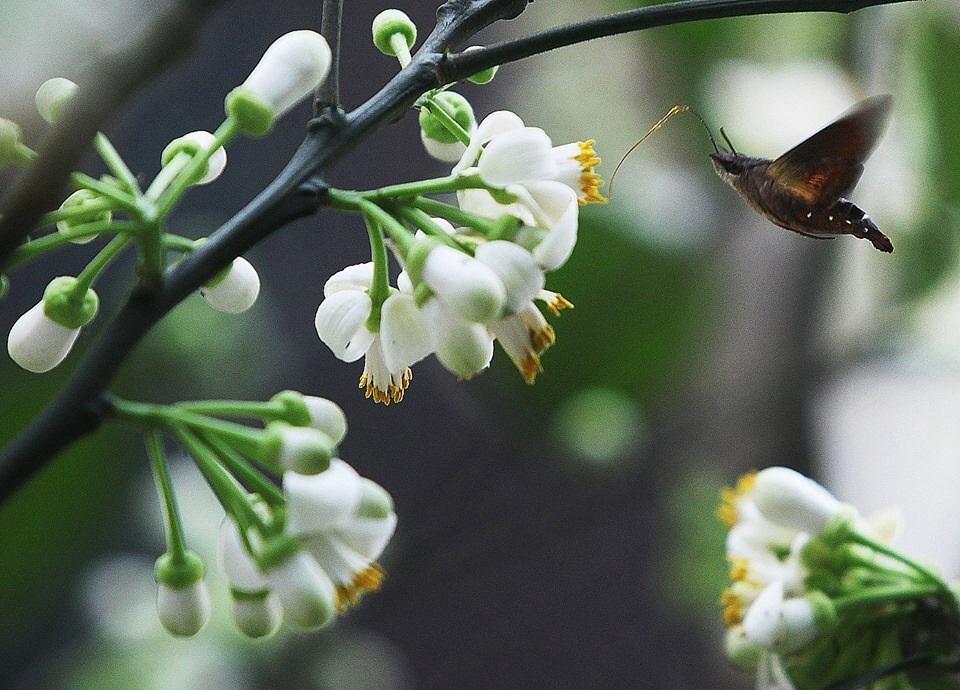 ảnh hoa bưởi nở trắng đẹp
