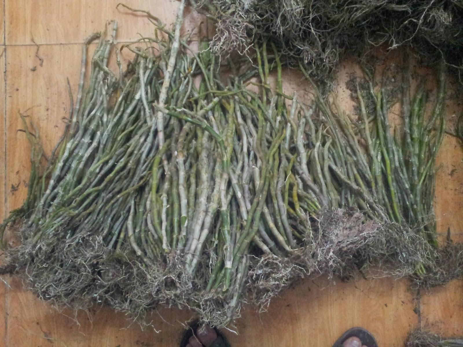 Hoàng thảo vôi dễ trồng, dễ chăm sóc