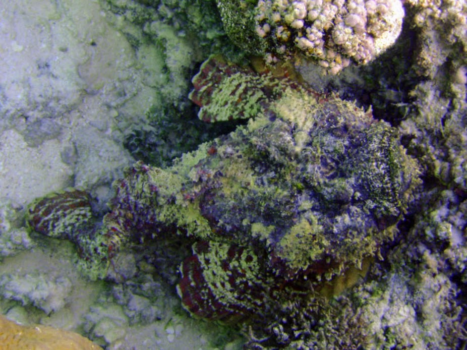 Synanceia verrucosa (Reef Stonefish), Aitutaki.