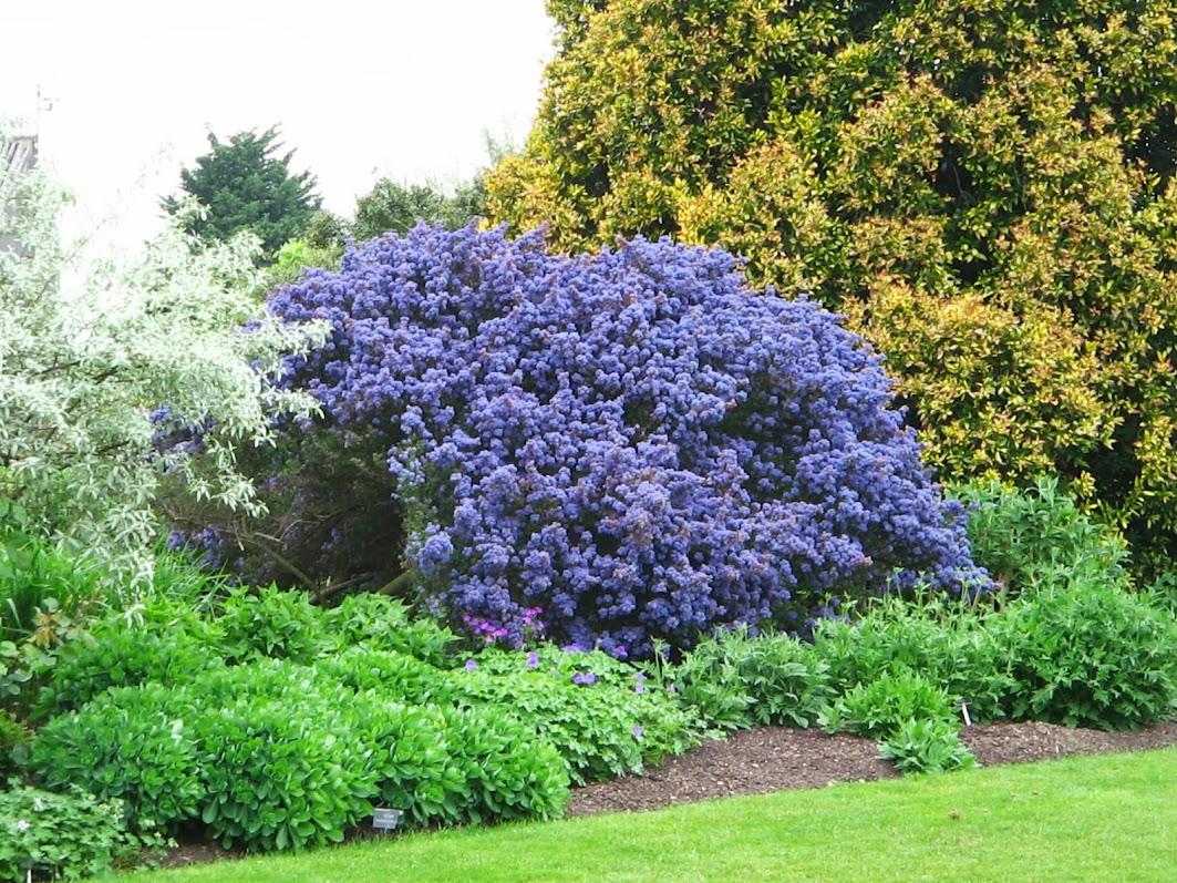 Arbusto ad alberello piccolo albero sempreverde per for Arbusti ad alberello