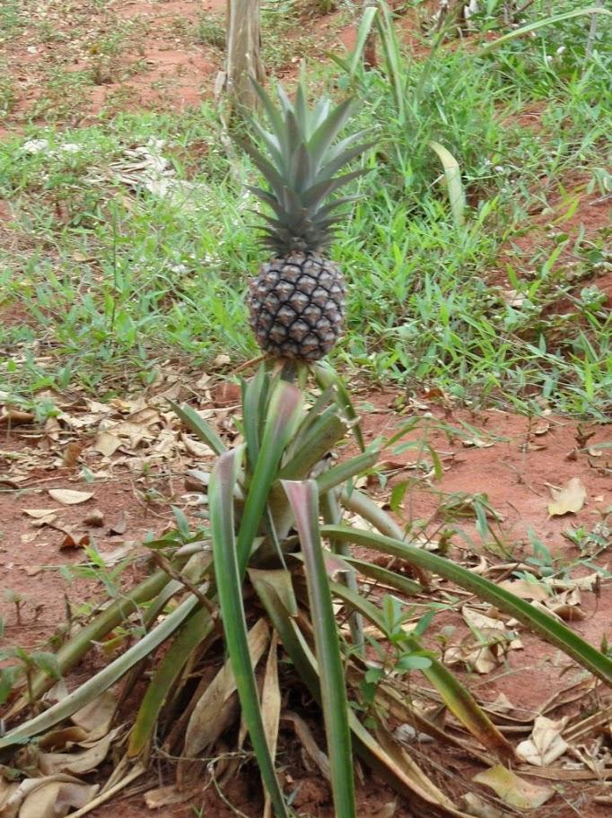 Zanzibar'da ananas