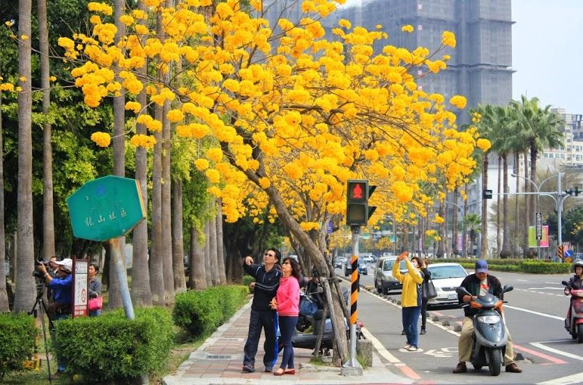 台南東區,黃花風鈴木-2