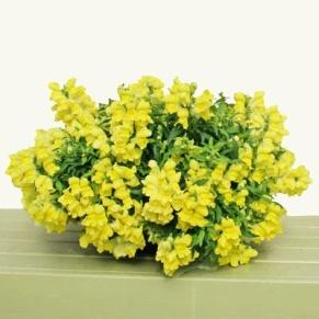 Snapdragon Candy Showers Yellow F1