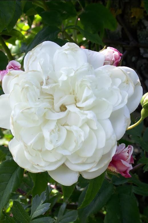 Fiori Simili Alle Rose Nome.Rose Bianche A Fiore Bianco Senza Spine O Quasi Rampicanti