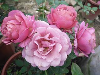 Hoa hồng Hồng Nhật Bản Aoi