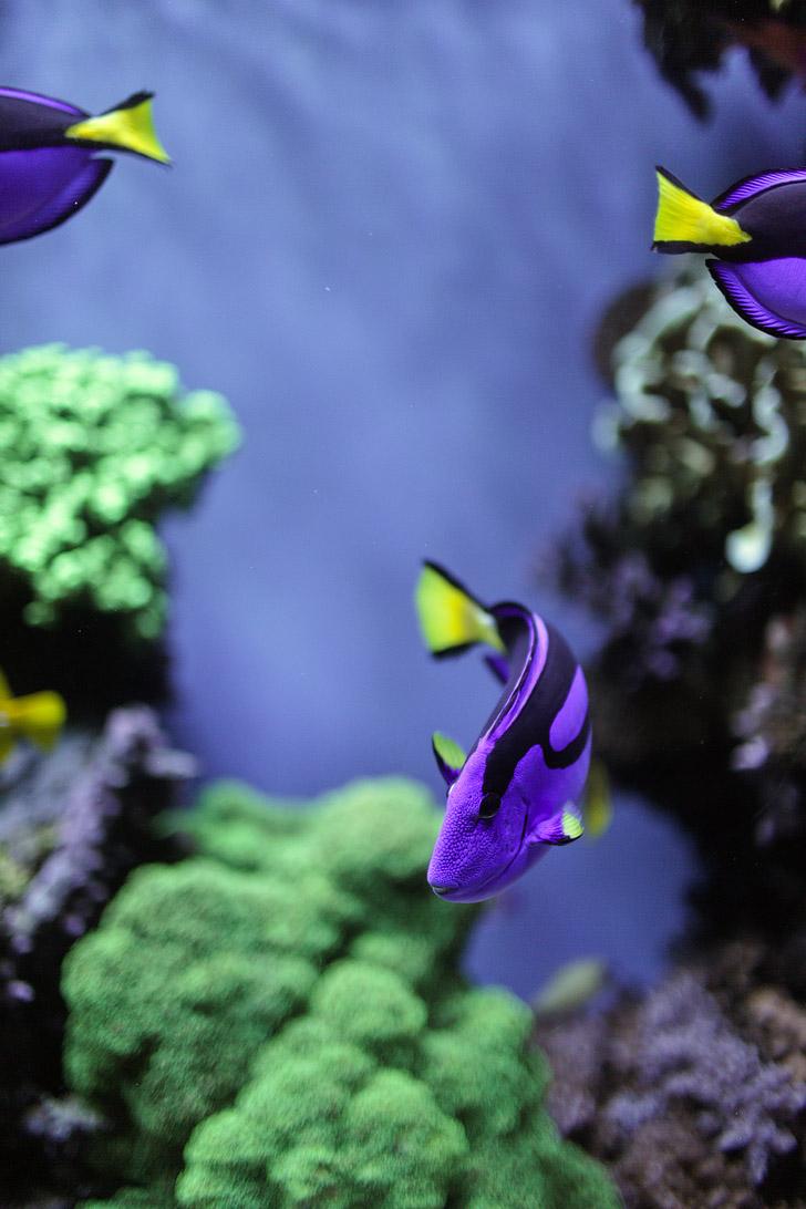 Blue Tang Fish.