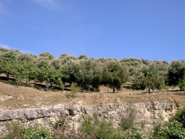 Оливковые рощи в конце мая