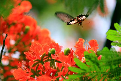 Hoa Phượng và cánh bướm